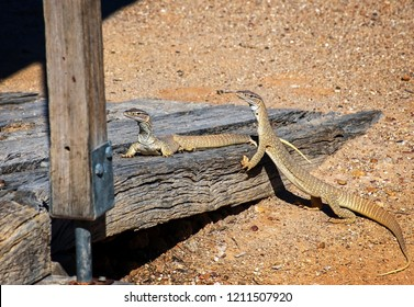 Sand goanna at a wooden lodge on rocky ground in South Australia