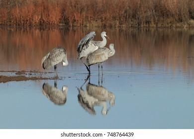 sand hill crane (Grus canadensis) at Bosque del Apache National Wildlife Refuge