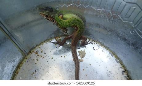Sand Lizard (Lacerta agilis) in a bucket