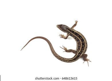 Sand lizard (Lacerta agilis) isolated on white background