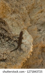 "The sand lizard (Lacerta agilis) is a lacertid lizard. The habitat of the reptile is in a rocky area. A young creature - ""Lacerta"" crawls along a vertical sandstone wall."