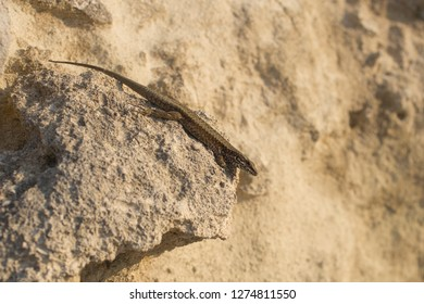 The sand lizard (Lacerta agilis) is a lacertid lizard. The habitat of the reptile is in a rocky area.  An old lizard resting on a rock on a Sunny day. The wise reptile, enjoy the passing life.