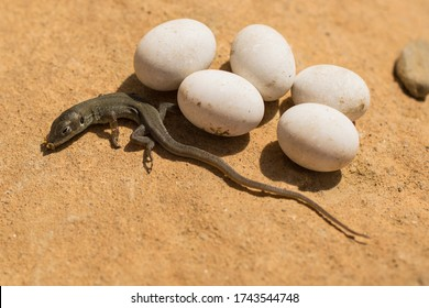 The sand lizard (Lacerta agilis) is a lacertid lizard. A baby reptile has just hatched from an egg.