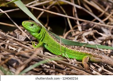 Sand lizard (Lacerta agilis) male sunning