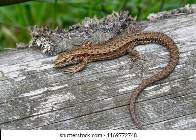 The sand lizard (Lacerta agilis) on a wooden beam in the grass. Green lizard close up.