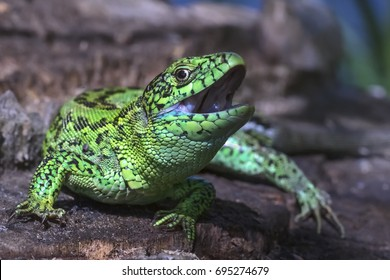 The sand lizard (Lacerta agilis) with an open mouth  in nature, close-up