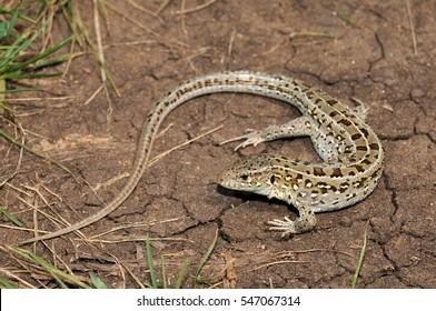 Sand lizard (Lacerta agilis) is a sexually-dimorphic. Males have finer markings than females their flanks turn bright green during the spring mating season. Female.