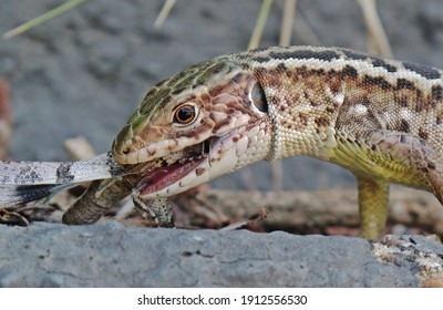A sand lizard(Lacerta agilis)eats a locust.Lizards are the natural enemys of locusts.This reptile resembles a little dragon.Dangerous predator.It likes grasslands and a range of man-made habitats. - Shutterstock ID 1912556530