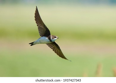 Sand martin in flight close to the colony
