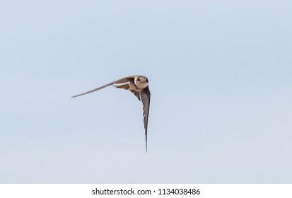 Sand martin flying