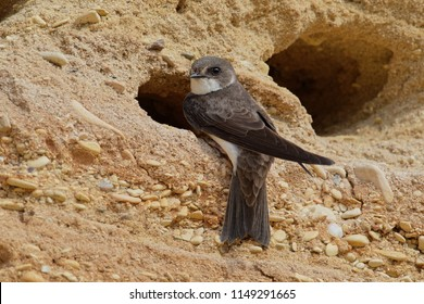 The sand martin (Riparia riparia) or European sand martin, bank swallow in the Americas, and collared sand martin in the Indian Subcontinent, is a migratory passerine bird. Pair