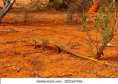 Sand monitor goanna in outback Australia