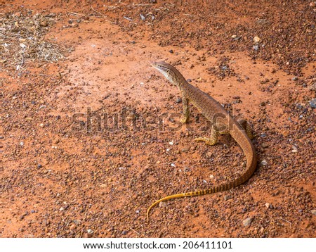 Sand Monitor Lizard Cooling Central Australia Stock Photo Edit Now