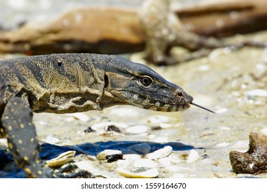 Sand Monitor/Goanna (Varanus Gouldii) Looking For Water With Its Tongue Out - Fitzgerald River National Park, Western Australia, Australia