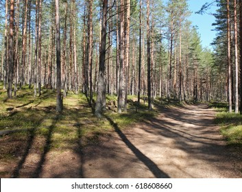 The sand path with striped shadows of trunks in the pine forest in the sunny morning