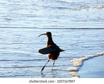 Sand Piper Dancing In Ocean