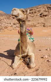 in the sand of the Sahara desert sitting camel ruminating and showing his teeth, Egypt, Africa