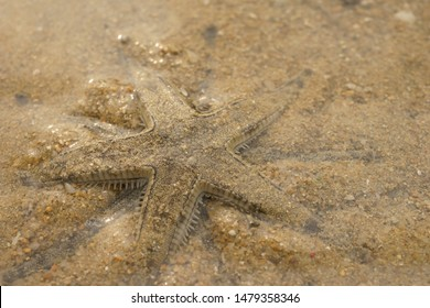 sand sifting star (Archaster typicus). Mating. Starfish, sea star, Echinoderm, Marine species. Found on intertidal mudflat, Hong Kong, South China Sea.