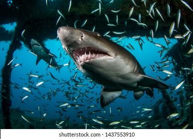 Sand Tiger alias Ragged-Tooth Shark