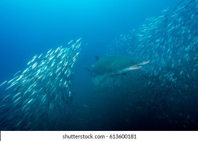Sand Tiger Shark Burst Through a School of Minnows