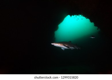 The sand tiger shark (Carcharias taurus), grey nurse shark or spotted ragged-tooth shark in the cave.
