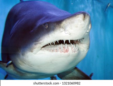 The Sand Tiger Shark, Carcharias Taurus, Grey Nurse Shark, Spotted Ragged-tooth Shark, or Blue-nurse Sand Tiger is a species of Shark that inhabits subtropical and temperate waters worldwide.