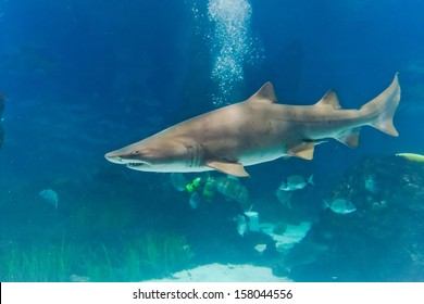 sand tiger shark (Carcharias taurus)  underwater close up portrait