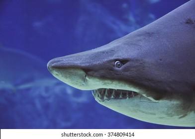 sand tiger shark (Carcharias taurus) underwater close up portrait - close up shot
