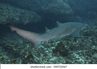 Sand tiger shark (Carcharias taurus) South Africa.