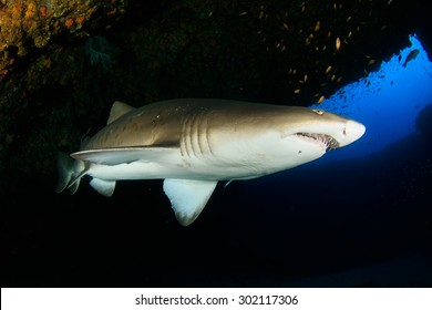 Sand tiger shark in cavern