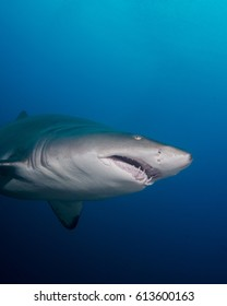 Sand Tiger Shark in the Outer Banks
