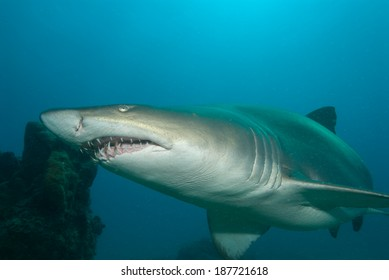 A sand tiger shark swimming close to the reef of Sodwana Bay.