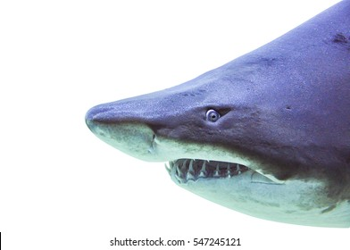 sand tiger shark underwater close up isolated on white background
