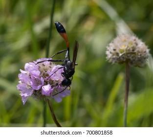 Bộ sưu tập côn trùng 2 - Page 2 Sand-wasp-260nw-700801858