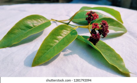 Sandalwood Leaves and Flower Closeup Shot - Santalum Album