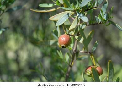 Sandalwood nuts on tree, Avon Valley, Western Australia, Australia