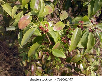 Sandalwood Tree with Its Flower and Fruit