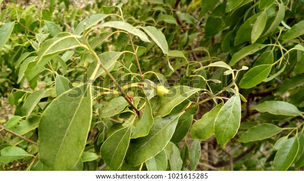 Sandalwood Two Fruits Together Tree Stock Photo (Edit Now