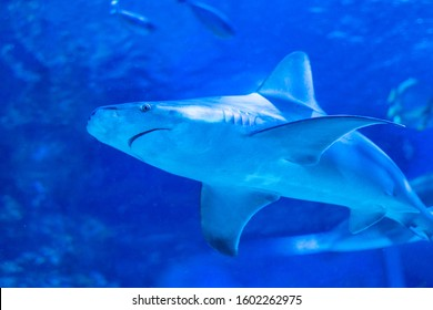 Sandbar shark biggest coastal shark in the world close-up - Shutterstock ID 1602262975