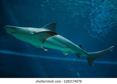 Sandbar shark (Carcharhinus plumbeus). Tropical fish.