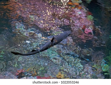 Sandbar shark swimming over a reef of coral and anemones