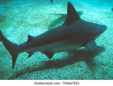 Sandbar shark swimming in the sea. Carcharhinus plumbeus.