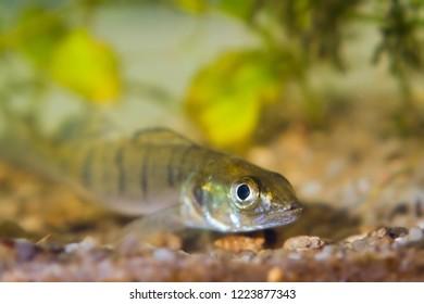 Sander lucioperca, zander or pike-perch juvenile freshwater fish in biotope aquarium representing Southern Bug river, shallow depth of field photo