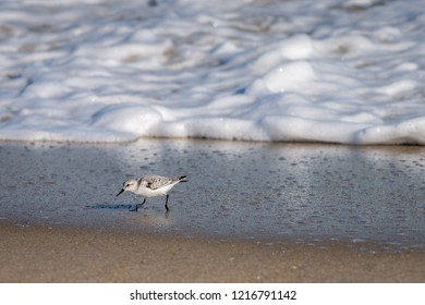 A Sanderling bird runs from an incoming wave along the coast of North Carolina