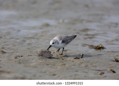 sanderling, Calidris alba, Chincoteague National Wildlife Refuge,Chincoteague Island