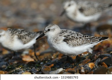 Sanderling, Calidris alba, are feeding at the edge of the sea as the tide comes back in.
