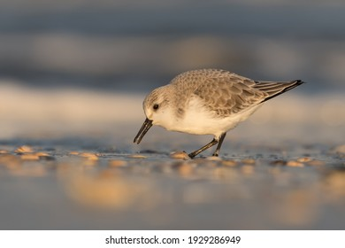 Sanderling (Calidris alba) looking for food on the beach of Hoek of Holland, photographed during the golden hour, with sunrise.