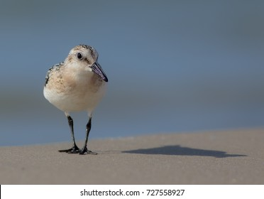 Sanderling - Calidris alba, on the Baltic sea shore on autumn migration way, Curonian Spit, Lithuania