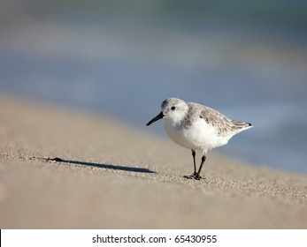 Sanderling (Calidris alba) on the beach