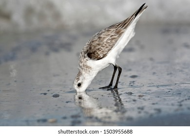 Sanderling, Calidris alba, a single non breeding pluamge bird feeding on the tide line, St Petersburg, Florida, USA, March